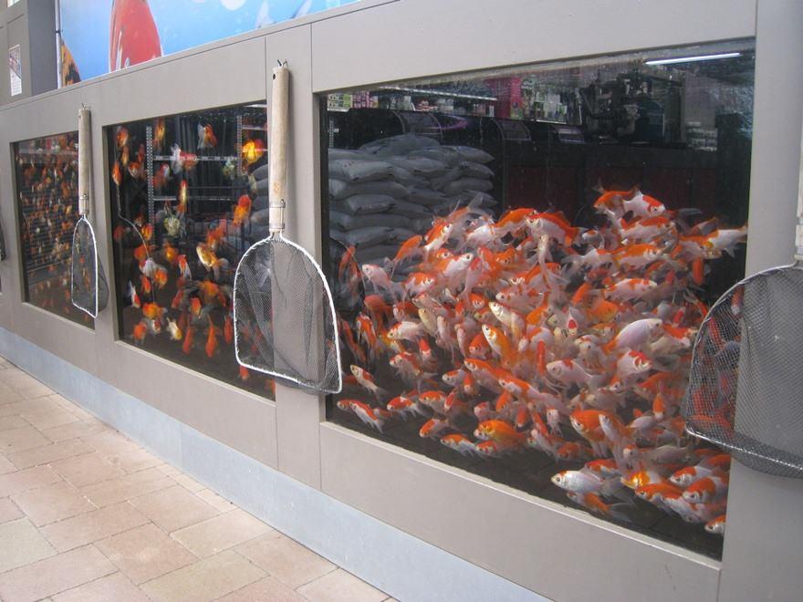 Vijvervissen kopen in Limburg? Diverse soorten!